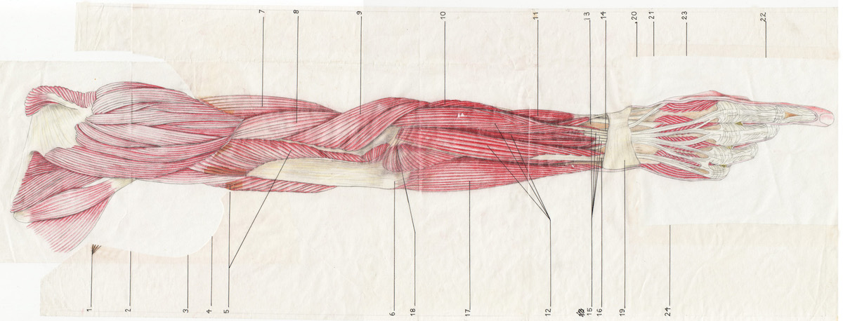 visual of the musculature of the arm